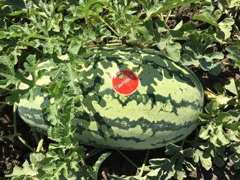 купить Тамтам F1 - семена гибрида арбуза - Энза Заден в Кишинёве