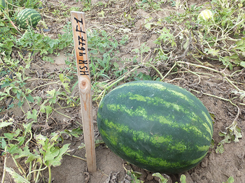 купить HSR 4677 F1 - семена гибрида арбуза - Холлар Сидс в Кишинёве