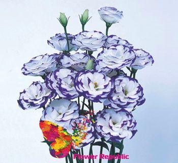 cumpără Eustoma violet-alba Preț o bucată în Chișinău