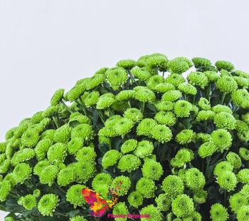 купить Хризантема кустовая мини зеленая поштучно в Кишинёве