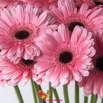 купить Гербера розовая поштучно в Кишинёве