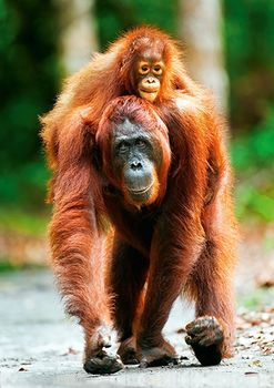 "10514 Trefl Puzzles - ""1000""-Nature Mother Care - Orangutan, Indonesia"