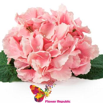 купить Гортензия розовая ( голова) в Кишинёве