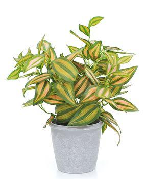 Цветы традесканция зелёная, 30 см