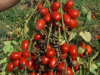 купить Хайнц 3402 F1 - семена гибрида томата - Хайнц Сидс в Кишинёве