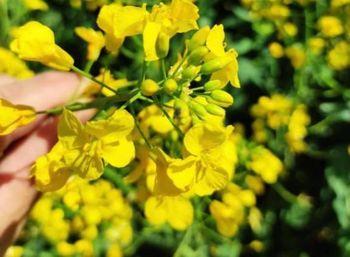 купить Бонанза - Семена рапса озимого - RAGT Semences в Кишинёве