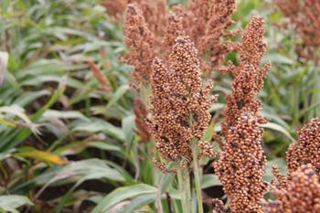 купить Ангги - Семена гибрида сорго - RAGT Semences в Кишинёве