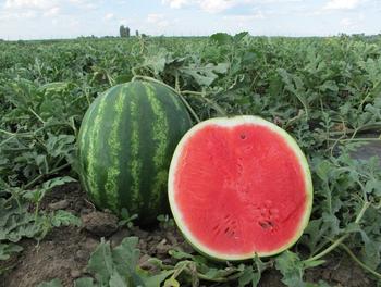 cumpără Au Producer - Seminţe de pepene verde - Hollar Seeds în Chișinău