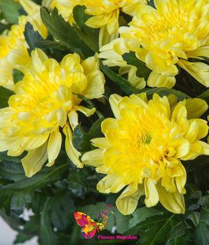 купить Хризантема крупная желтая поштучно в Кишинёве