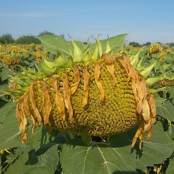 купить Ниагара - Семена подсолнечника - Евралис Семанс в Кишинёве