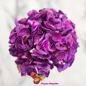 купить Гортензия фиолетовый в Кишинёве