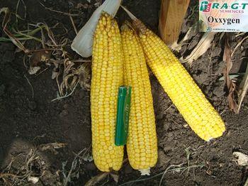 купить Оксиджен - Семена кукурузы - RAGT Semences в Кишинёве