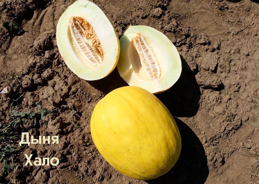 дыня амброзия купить семена