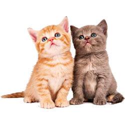 Puii de pisică/Pisicile gestante