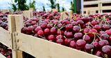 Экспорт черешни и клубники из Молдовы остановился из-за проливных дождей