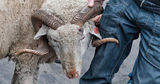 Двое жителей Гагаузии избили охранника предприятия, чтобы украсть барана