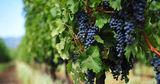 Виноградари Молдовы надеются на хороший урожай