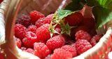 Молдавская малина в этом году может стать деликатесом