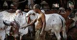 В Индии начали защищаться от коронавируса навозом