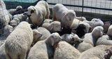 В Молдове животноводы уже начали подготовку к Пасхе