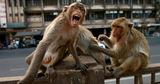 В Индии преступники научили обезьян воровать у людей деньги