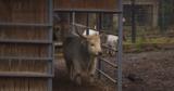 В Кишиневском зоопарке в год Быка ожидают новых обитателей