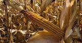 Глава управления АПК: В Гагаузии погиб почти весь урожай кукурузы