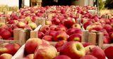 В 2019 году Молдова экспортирует меньше яблок, чем в прошлом году