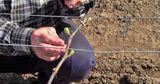 Теплая зима заставила виноградарей выйти на подвязку лозы