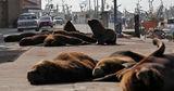 В Аргентине морские львы осваивают опустевшие улицы