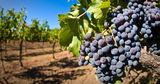 Сезон виноделия показал необходимость создания современных виноградников