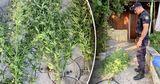 Жителю Тогатино грозит крупный штраф или тюрьма за выращивание конопли