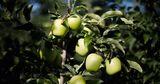 Оценка фактического урожая яблок в Молдове значительно ниже прогнозов