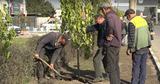 В Бельцах при высадке деревьев отказались от саженцев-прутиков