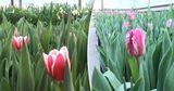 В этом году тюльпаны расцвели раньше времени