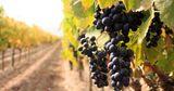 Зарубежные дипломаты примут участие в уборке винограда в Гагаузии