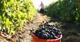 В Гагаузии цены на виноград значительно выше, чем в прошлом году