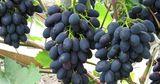 Эксперты: Молдавский виноград экспортного качества продолжит дорожать