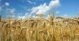 Правительство выделит хлебзаводам около 17 тысяч тонн пшеницы