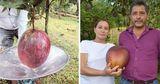 Самый тяжелый в мире манго вырастили фермеры из Колумбии
