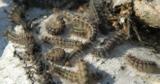 Ученые разрабатывают вакцину от COVID-19 с помощью шелковичных червей