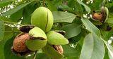 Ореховоды предлагают субсидировать только новые плантации грецкого ореха