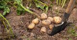 Цены на картофель держатся на низком уровне из-за высокого предложения