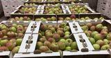 Импорт рабочих рук из Узбекистана: в Молдове некому собирать яблоки
