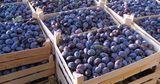 В Россию не пустили 40 тонн слив и винограда из Молдовы