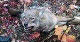 В приднестровском селе волки напали на домашний скот