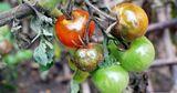 Молдавские помидоры атакует болезнь