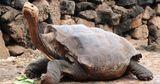 Столетнюю черепаху, спасшую от вымирания свой вид, выпустили на волю