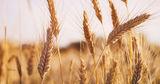 Урожай пшеницы в Молдове обещает стать самым низким за 11 лет