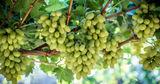 Димитрогло об урожае винограда в Гагаузии: На 60% ниже, чем в 2019 году